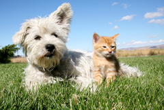 A six week old kitten and a white terrier on lawn